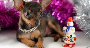Маленькая собачка